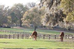 Paarden die in weiland weiden Stock Foto