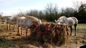 Paarden die zich in zon het eten bevinden Stock Fotografie