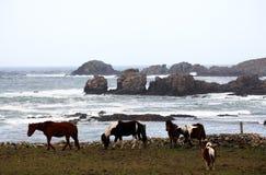 Paarden door de oceaan Stock Foto