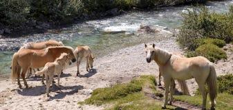 Paarden door de rivier Stock Fotografie