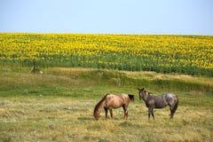 Paarden door het Gebied van de Zonnebloem Stock Afbeelding