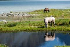 Paarden door het meer Stock Foto