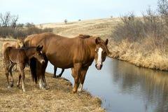 Paarden door kreek Royalty-vrije Stock Fotografie