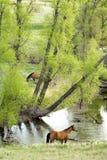 Paarden door stroom Royalty-vrije Stock Afbeelding