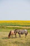 Paarden door Zonnebloemen Royalty-vrije Stock Afbeelding