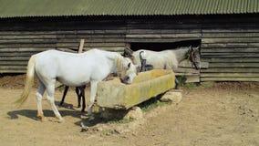 Paarden drinkwater in koraal stock video