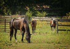 Paarden in een Weiland Stock Afbeeldingen