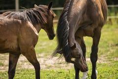 Paarden in een Weiland Royalty-vrije Stock Foto