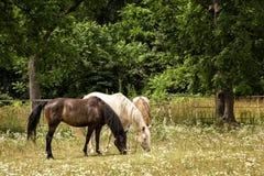 Paarden in een Weiland Royalty-vrije Stock Foto's