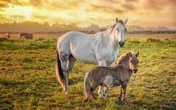 Paarden in een Weiland met Oranje Zonsondergang, Noordelijk Californië, de V.S. Stock Foto's
