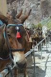 Paarden en ezels op het Eiland Santorini - het traditionele vervoer voor toeristen Dieren op de treden die tot oud leiden stock afbeeldingen