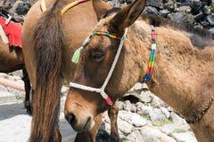 Paarden en ezels op het Eiland Santorini - het traditionele vervoer voor toeristen stock foto