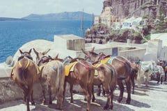 Paarden en ezels op het Eiland Santorini - het traditionele vervoer voor toeristen stock fotografie