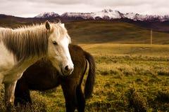 Paarden en grasslad, Tibet Royalty-vrije Stock Fotografie