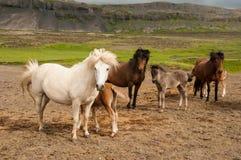 Paarden en haar kleine veulennen Royalty-vrije Stock Fotografie