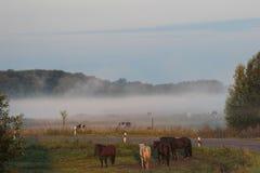 Paarden en koeien op een weiland in de mist Stock Foto's