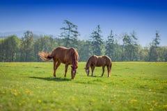 Paarden en Landschap in Topelec, Cizova, Tsjechische Republiek Royalty-vrije Stock Afbeelding