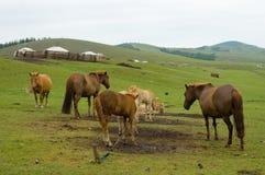 Paarden en merries Royalty-vrije Stock Fotografie