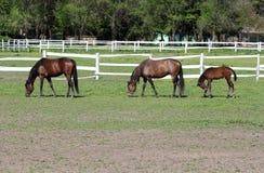 Paarden en veulen stock afbeelding