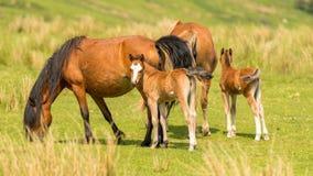 Paarden en veulennen Royalty-vrije Stock Afbeelding