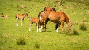 Paarden en veulennen Royalty-vrije Stock Afbeeldingen