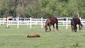 Paarden en veulennen stock video