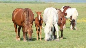 Paarden en veulennen stock videobeelden