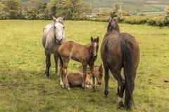 Paarden en veulennen Royalty-vrije Stock Foto's