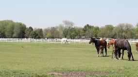 Paarden en veulennen het weiden stock video