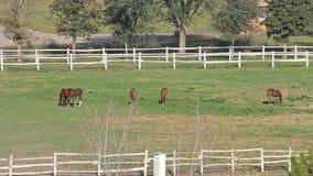 Paarden en veulennen het weiden stock videobeelden