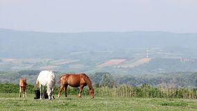 Paarden en veulennen op weiland stock video