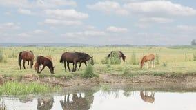 Paarden en veulennen op weiland stock footage