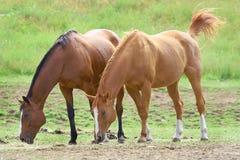 Paarden in gebied het weiden stock foto