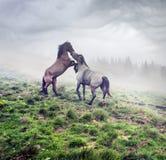 Paarden, hengsten in de mist Royalty-vrije Stock Foto