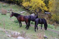 Paarden in het bergbos in de gouden herfst Stock Afbeeldingen