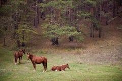 Paarden in het bos Royalty-vrije Stock Afbeeldingen