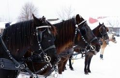 Paarden in het drijven van de concurrentie Stock Foto