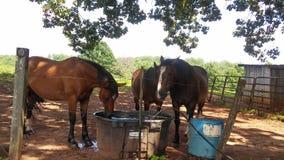 Paarden het drinken royalty-vrije stock fotografie