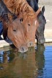 Paarden het drinken Stock Afbeelding