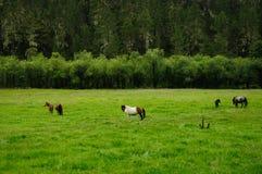 Paarden in het graslandbouwbedrijf in SHANGRI-LA Stock Fotografie