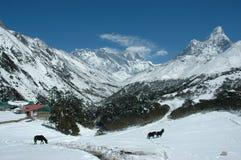 Paarden in het Himalayagebergte Royalty-vrije Stock Afbeelding
