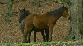 paarden in het hout stock videobeelden
