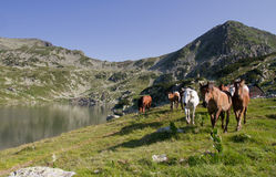 Paarden het lopen Stock Foto