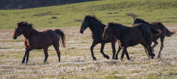 Paarden het lopen Stock Fotografie
