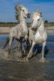 Paarden het lopen Royalty-vrije Stock Foto