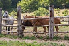 Paarden in het Nationale Park van Mavrovo Stock Foto's