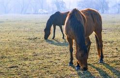 Paarden in het Park Monza Royalty-vrije Stock Afbeelding