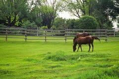 paarden het weiden Stock Foto