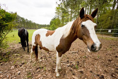 Paarden in het Weiland Stock Foto's