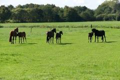 Paarden in het weiland Royalty-vrije Stock Foto